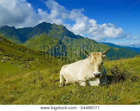 Cow In The Caucasus Mountains