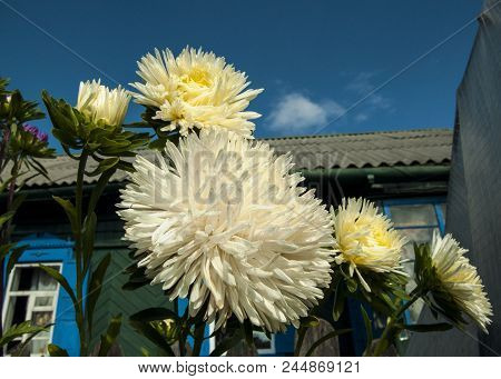 Luxurious White Aster Flower For Floral Decoration