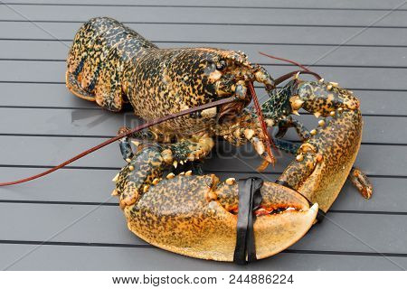 Breton Alive Lobster After Fishing In Brittany