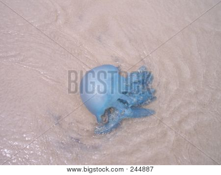 this is a beautiful blue jellyfish. it washed up on the beach at woorim, on bribie island. bribie island is in queensland, australia. poster