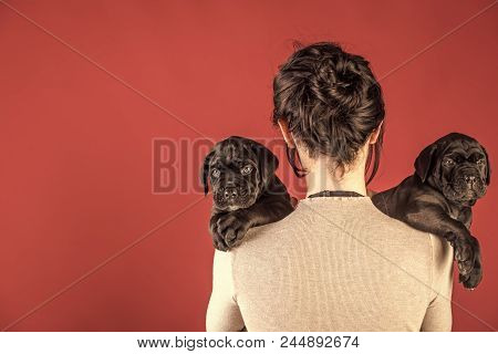 Girl With Black Mastiffs. Cane Corso Puppy At Female Hand. Santa Woman With Pet, Dog Year. New Year,
