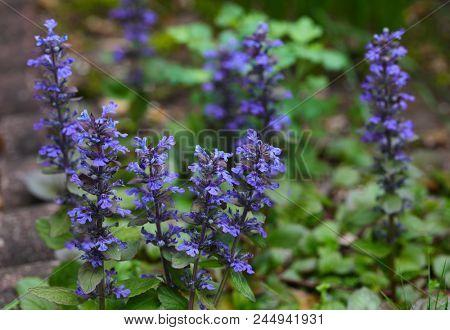 Purple Creeping Carpet Bugleweed Flower Ajuga in the garden