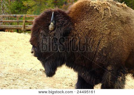 A Bison walks through Yellowstone.