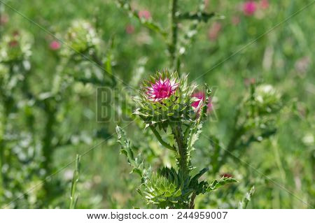 Wild Field Of Thistles (cirsium) At Start Of Flowering Time In Ukraine
