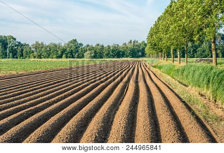 Long Potato Ridges In A Dutch Polder. The Ridges Have Been Grounded After The Mechanical Planting Of