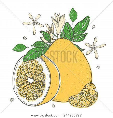 Set Colorful Hand Drawn Pomelo Fruit. Vintage Sketch. Sliced Cut Half Element.