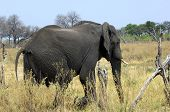 Old cow African Elephant Loxodonta africana East Africa poster