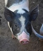 Pink snout on the cute face of a black and white pig. poster