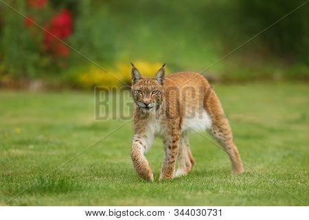 The Eurasian Lynx (lynx Lynx), Portrait. Eurasian Lynx In The Garden.big Lynx On Green Background.