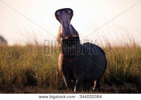 The Common Hippopotamus (hippopotamus Amphibius) Or Hippo Is Warning By Open Jaws Standing On The Ri