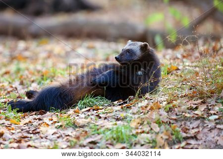 Wolverine (gulo Gulo) Resting On Its Back In The Autumn Forest.a Large Nordic Predator Relaxes On A