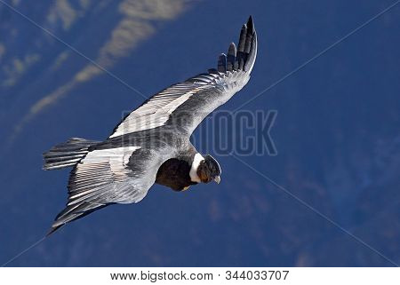 The Andean Condor (vultur Gryphus) Is A South American Bird In The New World Vulture Family, Colca C