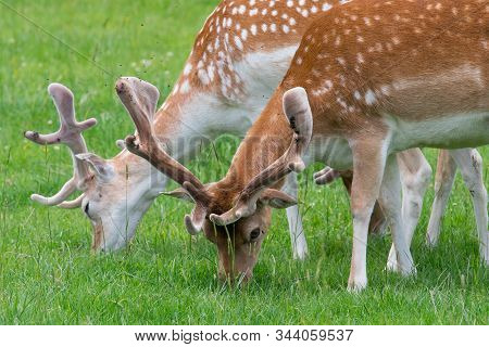 Close Up Of A Herd Of Fallow Deer (dama Dama) Grazing