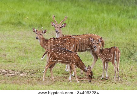 The Chital Or Cheetal (axis Axis), Also Known As Spotted Deer Or Axis Deer, Yala National Park, Sri