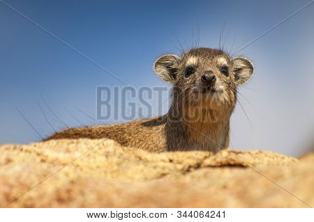 The Rock Hyrax (procavia Capensis), Also Called Rock Badger And Cape Hyrax, Lying On The Top Of A Ro