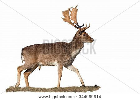 Fallow Deer, Dama Dama, Stag With Antlers Isolated On White