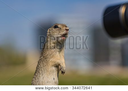 Funny Looking Brown European Ground Squirrel Standing On Green Grass With Open Mouth In Surprise Wat