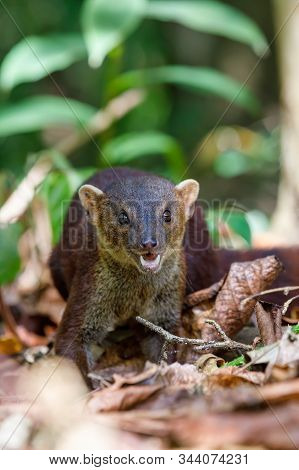 Ring-tailed Mongoose, Galidia Elegans, Carnivoran Native To Madagascar. Farankaraina. Madagascar Afr