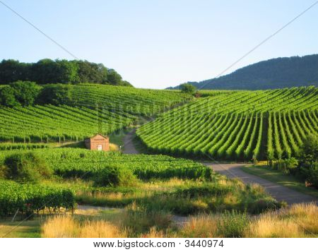 French Vineyard In Alsace