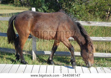 Wild Horse Feeding On The Grass Growing Up Through The Gaps A Wooden Walk Way On Assateague Island I