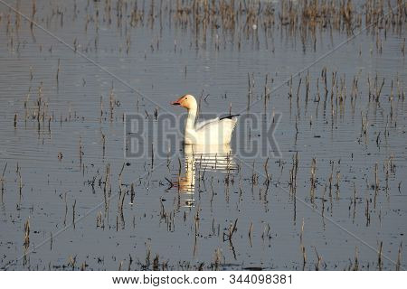 Snow Goose Swimming Around In The Wetland, Waters Of The Colusa National Wildlife Refuge, In The Sac