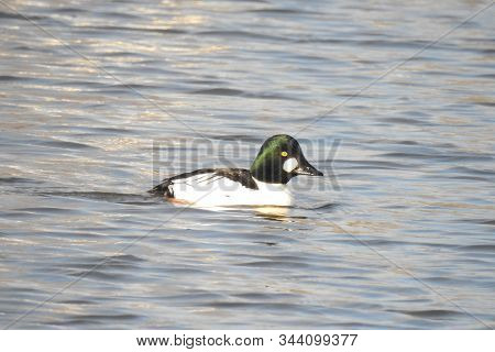 Common Goldeneye Duck Swimming In The Shallows Of The Colusa National Wildlife Refuge In The Sacrame