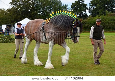 Upper Dean, Bedfordshire, England - September 07, 2019:  Bay And Roan Shire Horse  Stallion On Shown