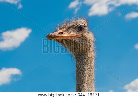 Ostrich Head Closeup. Ostrich Head On Clear Blue Sky. Head Of Largest Bird On Blue Background. Large