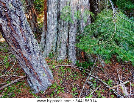 Pine Cedar Friends - A Western Red Cedar Tree Growing With A Young Ponderosa Pine Tree Along Canyon