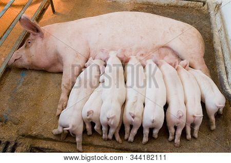 Newborn Piglets Feeding From Mother Pig In The Farm.  Suckling Piglets Suckling A Sow Farm.