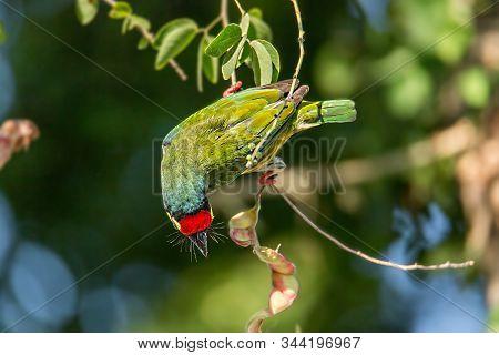 : Golden Bird Or Coppersmith Barbet A Golden-tailed Bird Eating A Tamarind