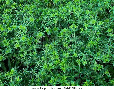 Sawtooth Coriander, Asian Vegetable Also Known As Pak Chi Farang Or Long Coriander