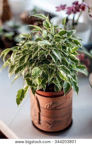Ficus Benjamina Kinky In A Clay Pot.