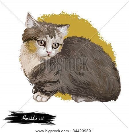 Munchkin Cat Or Sausage Cat Breed Characterized By Short Legs. Adolescent Munchkin Kitten Domesticat