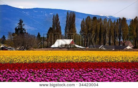 Purple Red Yellow Tulips Flowers Skagit Valley Washington State