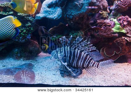 Lion Fish Red Sea