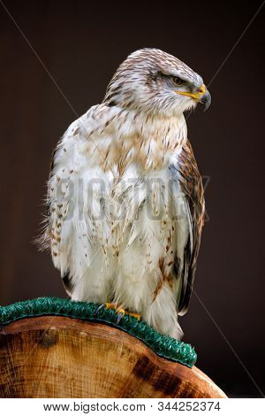 Ferruginous hawk or royal hawk, a large bird of prey with iron-rust color  plumage, sitting on a perch