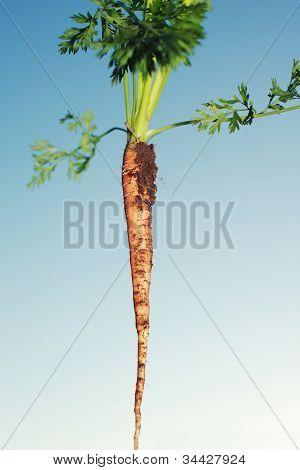 Freshly Pulled Carrot