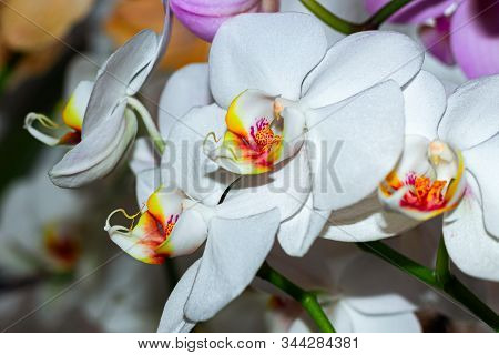 White Flower Phalaenopsis Orchid . Commonly Known As The Moon Orchid Or Moth Orchid Butterfly Orchid