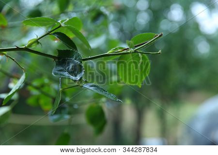 Branch With Leaves And Sharp Spikes Close-up On A Blurred Background. Garden Plant With Spiny Stems,