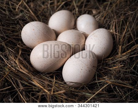 Large Poultry Eggs Lie In The Hay
