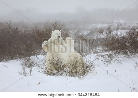 Two sparring polar bears stand on 2 feet in Churchill, Manitoba in northern Canada.  Although it looks aggressive, it is actually playful