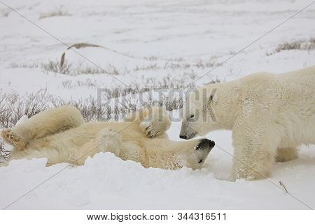 Two polar bears in Churchill, Manitoba Canada lay on the ground before they get up to spar.  Snow covers the tundra.
