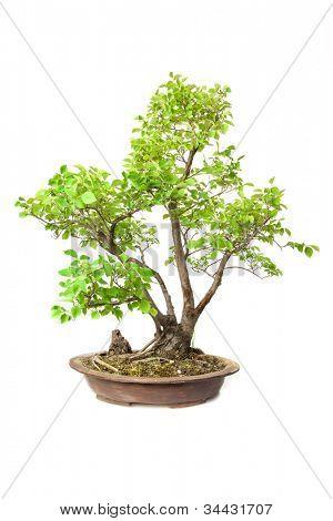 Ulmus carpinifolia Gleditsch bonsai isolated on white