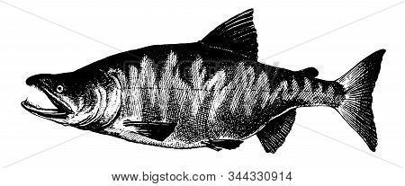 Animal, Aquatic, Art, Atlantic Salmon, Black, Delicacy, Design, Drawing, Drawn, Engraved, Engraving,