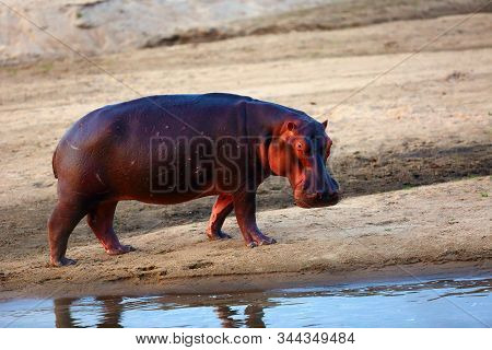 The Common Hippopotamus (hippopotamus Amphibius) Or Hippo On The Banks Of The African River. A Large