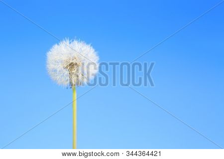 Dandelion Abstract Blue Background. White Blowball Over Blue Sky And Copy Space. Shallow Depth Of Fi