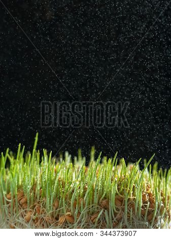 Sprouted Wheat Seeds In Drops Of Water On Sprouts Located On A Dark Background. Rain Spray On The Ba