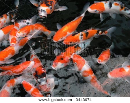 Koi Fish Swimming