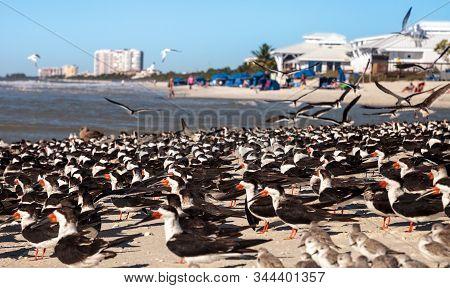 Nesting Black Skimmer Terns Rynchops Niger On The White Sands